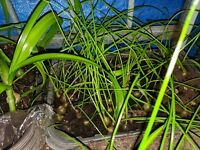 Lot of 5 Exotic Plants! Pregnant Onion! Long Life! - LOOK!