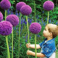 40 Giant Allium GLOBEMASTER Allium Giganteum Onion Organic Seeds S011