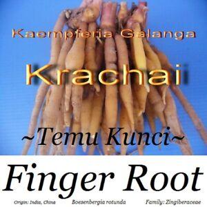 ~FINGERROOT~ Rhizome Boesenbergia rotunda Chinese Ginger Herb Culinary