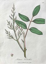 Sowerby. Pistacia Terebinthus.  1792 Hand Colored Engraving Woodville.