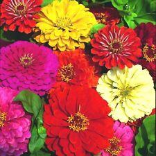 301+GIANT DAHLIA ZINNIA MIX Flower Seeds 10 COLORS Big 5