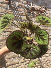 begonia masoniana ROCK  plant (no philodendron)
