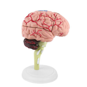 4D Disassembled Anatomical Human Brain Model Anatomy Medical Teaching Tool Toy