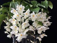 "Dendrobium farmeri  fma. petaloid ""Hsinying""  ""GM/JOGA"