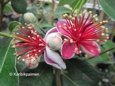 Acca sellowiana - brasil. Ananasguave - Pflanze 30-50cm bis -10°C  Feijoa Frucht