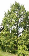 100 Samen Urweltmammutbaum (Metasequoia glyptostroboides), Mammutbaum, urtümlich