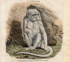 Stampa antica animali SCIMMIA ALBINA 1842 Old print