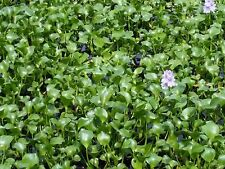 100 Water Hyacinth Floating Pond Plants