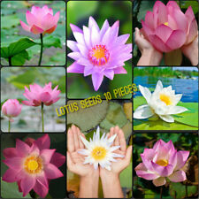 10 Lotus Seeds Mix Color Freshwater Live Aquarium Tropical Plant water lily pond