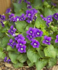 15+Wild Violet Live Plants~Perennial~Purple Ground Cover Bare Root🌱Ct Garden