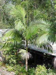 Alexander King Palm - Archontophoenix alexandrae Native - 140mm Pot Plant