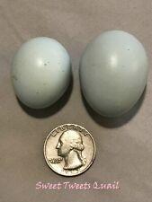 5 Dozen Celadon Blue Quail Hatching Eggs Free Shipping