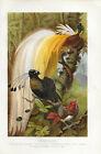 Paradiesvögel Farb-Lithographie 1891 - Altes Bild Druck Antique Print Vogel Bird