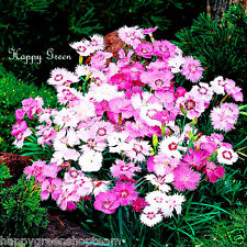 SWEETNESS MIX - Dianthus plumarius - 600 SEEDS