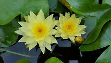 Live Water Lily Plant. Full Size Plant. Yellow Flowers.