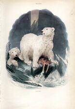 1851 CUVIER HC ENGRAVING polar bear