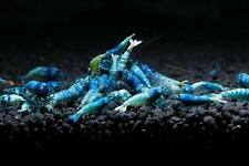 5x Blue Bolt shrimp