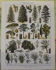Ancienne Gravure Larousse 1950 Art Print on Original Antique Book Page Sapin Pin