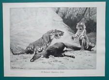 TIGER FAMILY Fight for Killed Antelope - VICTORIAN Era Engraving Print