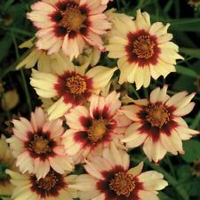 Coreopsis 'Autumn Blush' two tone colourful flower for year after year in 9cm po