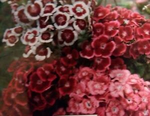 Sweet William Mixed Flower Seeds