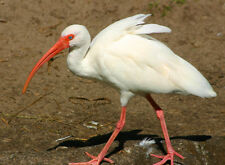 BEAUTIFUL WHITE IBIS FINE ART GREETING CARD