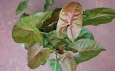"""Syngonium """"MARIE"""" 1 x plant PINK Heart Shaped Hardy Indoors Garden Pots Climbing"""