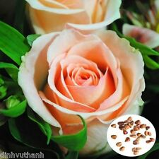 Champagne Rose Seeds Diy Home Garden - 100 Seeds