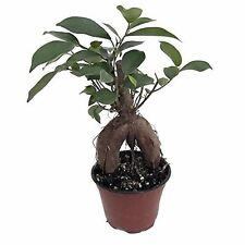 "Green Island Ficus Pre Chinese Bonsai Tree - 4"" Pot Plant Garden Home Best Gift"