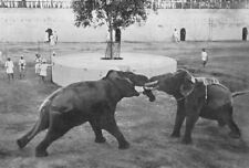 INDIA. Elephants fighting;tusks artificially truncated & trunks interlocked 1900