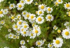 10000+ Samen Echte Kamille Matricaria (Chamomilla) recutita Tee Heilpflanze