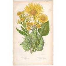 Anne Pratt antique 1860 botanical print Flowering Plants 126 Leopard's Bane