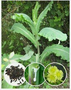 20+Bonuses Seeds Opium Lettuce (Lactuca virosa) Organic Wild Lettuce Fresh 7/21