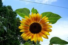 New listing Heirloom Sunflower 50+ Seeds My Own Variety Harvested 2017