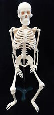 Human Skeleton 85 Cm with Metal Stand-AN060-0085