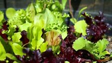 LETTUCE 'Mixed' 200 seeds fancy oakleaf red green ALL TYPES mix vegetable garden