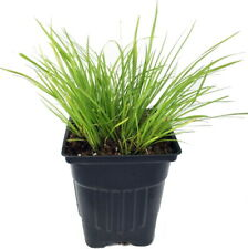 "Golden Dwarf Sweet Flag Plant - Acorus - Terrarium/Fairy Garden - 2.5"" Pot"