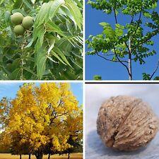 Black Walnut Tree JUGLANS NIGRA nut fruit wildlife food Autumn colours! Seeds