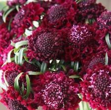 F0784 Scabiosa Fire King x20 seeds