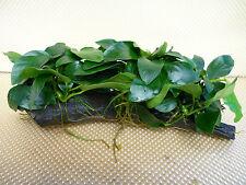 Anubias nana on wood (Large) -   Fish Aquarium Aquatic Live Plants (PL176)