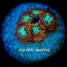 USA REEF AQUATICS - UC HOTSHOTS ZOANTHIDS LIVE CORAL FRAG - ZOA PALY RARE!!!
