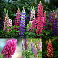 100pc Mixed Russell Lupine Seeds Beautiful Polyphyllus Flower Plant Garden Decor