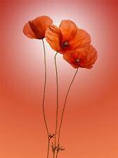 ART PRINT POSTER PHOTO NATURE PLANT FLOWER RED POPPY GRADIENT COLOUR LFMP0759