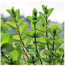 lots de 10  Petits plant Menthe Poivrée environ 20 cm