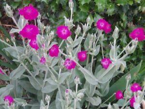 1 jeune plant de coquelourde des jardins rose  -  vivace facile