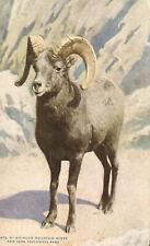 Big Horn Mountain Sheep - New York Zoological Park Animal Postcard Zoo