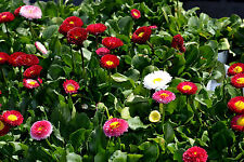 GÄNSEBLÜMCHEN MISCHUNG 120 Samen Bellis Perennis rot rosa pink weiß Seeds