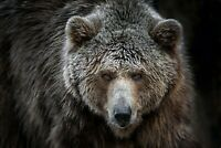 Grizzly at Roaring Creek by Bonnie Marris 24x18 Wildlife Poster BEAR ART PRINT