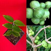 Plinia Pitrantha Branca (White) Jaboticaba Brazilian Grape Fruit Tree Plant RARE