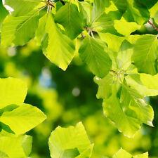 4 x Beech Trees Sapling Seedling Garden Hedge 30-50cm (Fagus sylvatica)